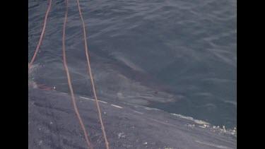 shark swimming near dead whale