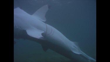 Dead White shark W. Australia ORCA shoot and Valerie.