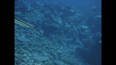 diver shoot shark, wiggles up to surface