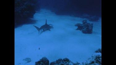 hammerhead shark is speared