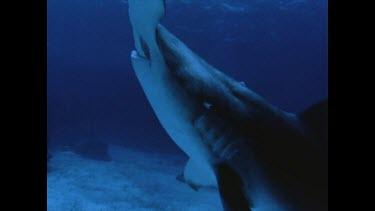 diver spears hammerhead shark