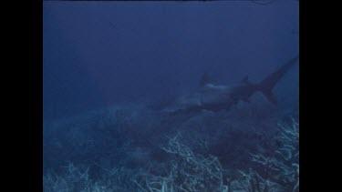 hammerhead shark swims past cameraman