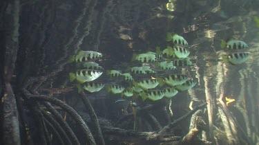 Archer Fish, Mangrove