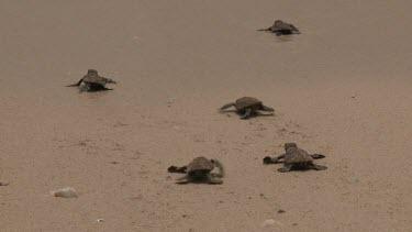 Baby Sea Turtles into ocean
