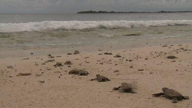 Baby Sea Turtles marching to ocean