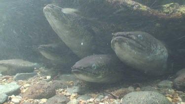 Freshwater eels