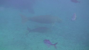 Mother Dugong with Calf