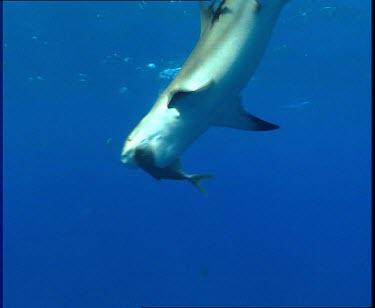 Shark feeding frenzy. Sharks fight over fish. Shark attacks camera