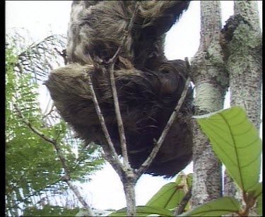 Three toed Sloth in a tree giving birth.
