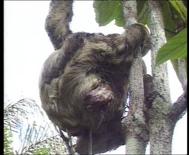 Zoom in. Three toed Sloth in a tree giving birth.