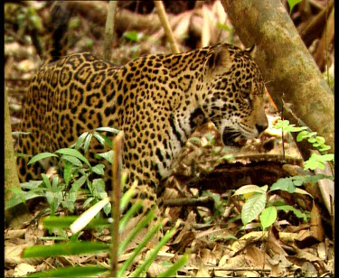 Jaguar stalking prey