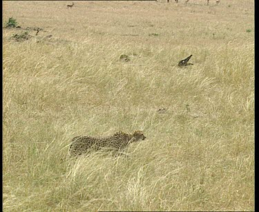 Cheetah stalking prey. Cheetahs chasing down prey