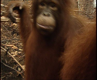 Orangutan looks to camera