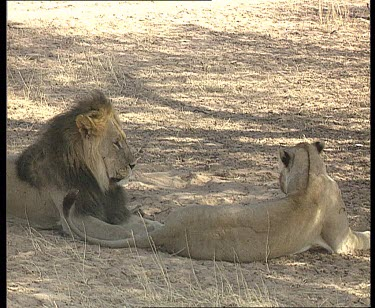 Lions mating. Male nuzzles female