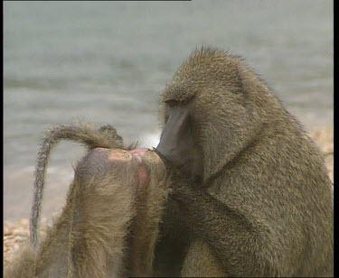 Alpha male grooming female. She displays her rump to him.