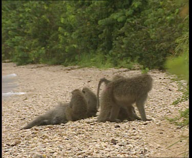 Olive Baboons on beach grooming.