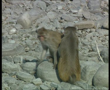 Unidentified monkeys mating and grooming. Male grooms female. Male cleans his penis