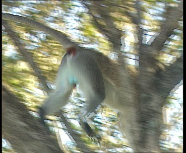 Green monkey with red penis jumps across trees