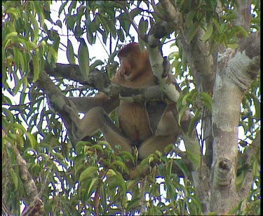 Male Proboscis monkey with red penis sitting in tree