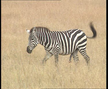 Zebra courtship. Zebra with erect penis. Rolling in grass.