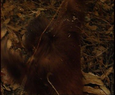Orangutan climbs up