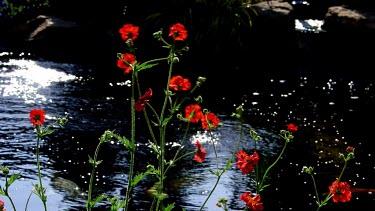Weathered Red Geum Blazing Sunset Flowers & Koi Carp, Scarborough, North Yorkshire, England