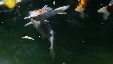 Koi Carp Fish, Town Garden, Scarborough, England