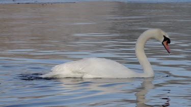 Mute Swan Cygnus Olor, Adjusts Feathers, Weaponness Valley, Mere, Scarborough, England