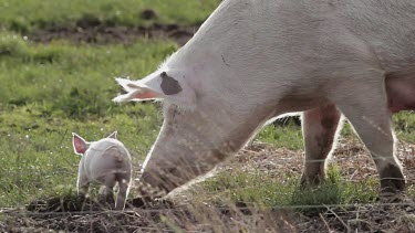 Mother Sow With Piglets, Pigs, Free Range Pig Farm, Scarborough, England