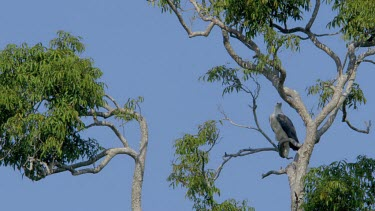 White Bellied Fish Eagle, Udawalawe Safari Park, Sri Lanka