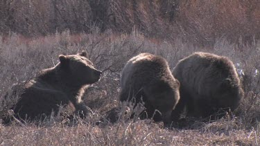 3 Grizzly bears in forest