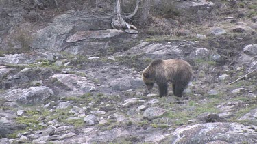 Grizzly bear on mountain slope