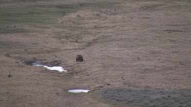 Grizzly bear far out on valley plain with coyote nearby