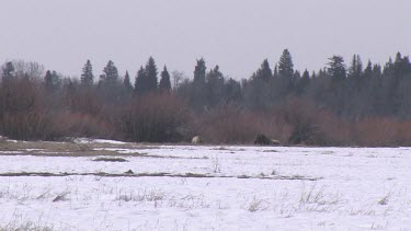 3-4 Grizzly bears far away on snowy forest meadow