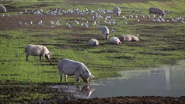 Pigs Drinking In Flooded Field, A64 Sherburn, North Yorkshire, England