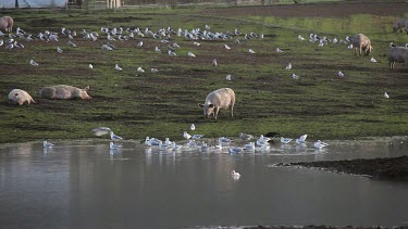 Pigs & Seagulls In Flooded Field, A64 Sherburn, North Yorkshire, England