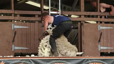 Display Of Machine Shearing, The Great Yorkshire Show, North Yorkshire