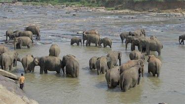 Asian Elephants In Maha Oya River, Pinnawala Elephant Orphange, Sri Lanka