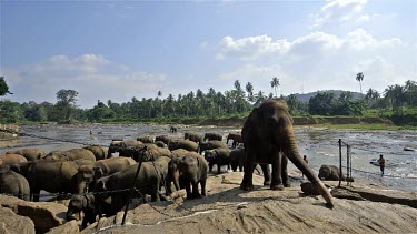 Asian Elephants In Maha Oya River, Pinnawala Elephant Orphange, Sri Lanka