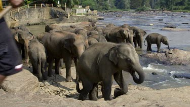 Mahout Chasing Young Asian Elephants In Maha Oya River, Pinnawala Elephant Orphange, Sri Lanka