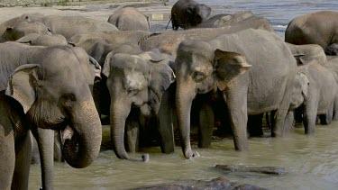 Swaying Asian Elephants In Maha Oya River, Pinnawala Elephant Orphange, Sri Lanka