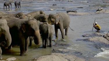 Swaying Asian Elephants In Maha Oya River, Pinnawala Elephant Orphange, Sri Lanka