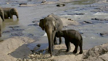 Young Asian Elephants & Maha Oya River, Pinnawala Elephant Orphange, Sri Lanka