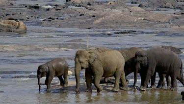 Asian Elephants Splash Maha Oya River, Pinnawala Elephant Orphange, Sri Lanka