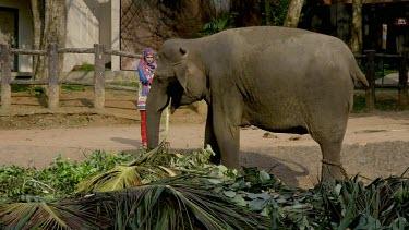 Woman Feeds Asian Elephant, Pinnawala Elephant Orphange, Sri Lanka
