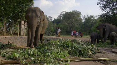 Asian Elephants Feeding, Pinnawala Elephant Orphange, Sri Lanka