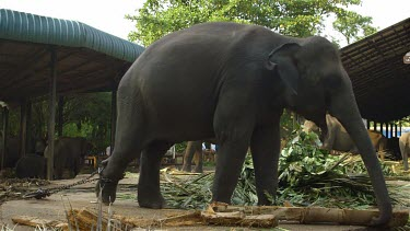Large Asian Elephant Feeding, Pinnawala Elephant Orphange, Sri Lanka